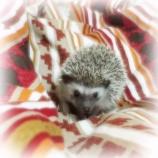 『Hedgehog』の画像