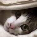 1匹のネコが「毛布」の下から顔を出していた。中はどうなっているのかな? → 布団の中はこんな感じです…