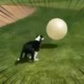 イヌが「大きなボール」を追いかけた。全力でヒャッハ~! → こうなる…