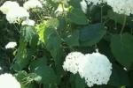 交野市も梅雨入り!『紫陽花』がきれいな時季だ!~近畿地方の梅雨入りは平年より4日早く、去年と同じだそうな~
