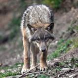 『「神なるオオカミ」フランスで絶滅危惧種オオカミの駆除』の画像