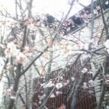『さくら咲く』の画像