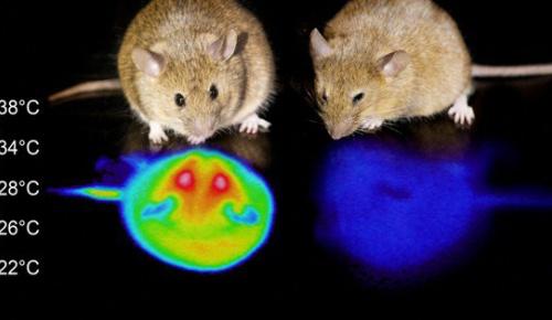 マウスの脳を刺激し人工的な冬眠状態に成功 人間に応用の可能性 筑波大研究(海外の反応)