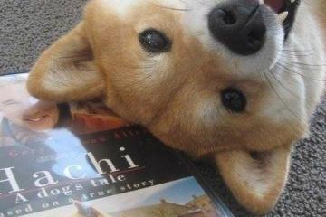 海外「日本犬は素晴らしい」秋田犬の人懐っこさに心溶かされる海外の人々」