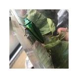 『玉虫』の画像
