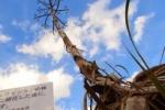 私市植物園の『アオノリュウゼツラン』が枯死してもーてる!