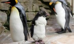 ペンギンの同性カップル、両親からヒナを誘拐 デンマークの動物園
