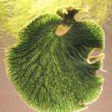 『光合成するウミウシ』の画像