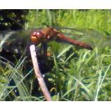『赤トンボ』の画像