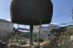 交野で有名な変な形の木(モッコモコの木)に子供ができたみたい!