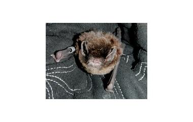 『長野のユビナガコウモリ』の画像