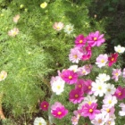 『コスモスの種を蒔く』の画像