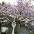 『田園都市線沿線風景~八重桜の寺 2020/05/14』の画像