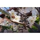 『梅の受粉』の画像