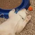 うちのネコが床で遊んでいた。退屈だにゃ~ → ずっと猫はこんな感じです…