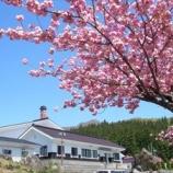 『八重桜満開』の画像