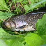 最近の忍野釣行の写真