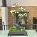 菊盆栽〜大崎市古川市民文化祭〜