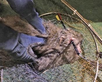 頭に矢が刺さった状態で見つかった猿、捕獲後に炭酸ガスで安楽死に(画像あり) 滋賀・彦根市