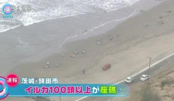 茨城県鉾田市海岸でイルカが150頭以上が座礁!ネットで「地震の予兆?」と懸念の声