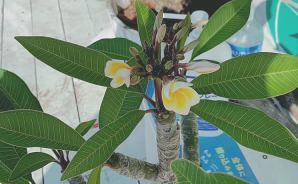 挿し木にしたプルメリアが開花♪