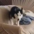 【イヌ】 床に落ちたら死んじゃうよ。ぴょんぴょん♪ → 犬はソファでこうなります…