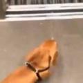 イヌは「散歩」から帰ってきた。早く玄関ドア開けてぇ~! → 犬はそこへ直行する…