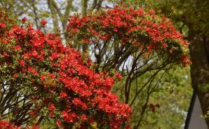 ツツジの花を撮影して秋田駅まで