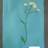『実物資料集77 キミ子方式 ヒメジョオン』の画像