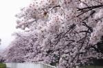 今がその時!交野の桜あれこれ〜妙見、向井田、里山etc市内の桜が見頃!〜