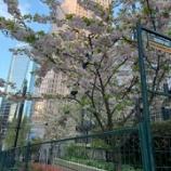 『バンクーバーは桜の季節』の画像