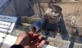 【動物園】  これはかわいそうだろ・・・。日本の千葉県市川市動植物園で コツメカワウソと握手ができるイベント。   海外の反応