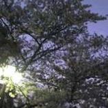 『上戸田ふれあい公園の桜が満開に近付いています』の画像