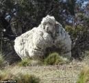 【画像】毛を剃られずに放置された羊が発見される