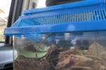 交野で国内10数体目の発見か!?家に来たナナフシが雄ぽかったので伊丹市昆虫館で調べてもらった!