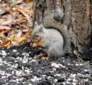 リス、せっせと冬支度…木の実を埋めたり、巣材の木の皮をむいたり。滝沢森林公園(画像あり)