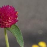 『京成小岩の花。 (RX1)』の画像