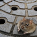 【研究結果】ネズミさん、かくれんぼが大好きだった ご褒美のエサが無くてもかくれんぼで遊び続ける
