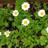『3月の庭の花Ⅱ;東大和市』の画像
