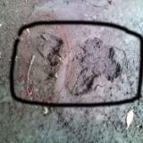 熊の足跡のサムネイル