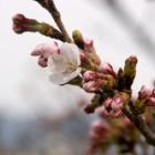 『復興と魂の奇跡の春に向かって。』の画像