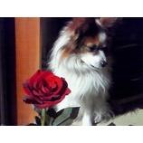 『薔薇と愛犬』の画像