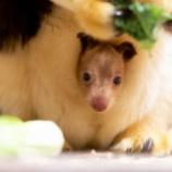 『カンガルーも木に登る:アカキノボリカンガルー』の画像