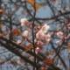 サクラの種類と開花時期
