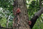 昨年に続き交野に生えてるきのこ『ハナビラニカワタケ』を食べてみた!