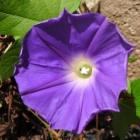 『花 「あさがお」+日記。』の画像