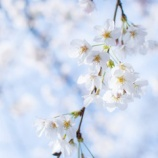 『お花見と、働き方改と・・・』の画像