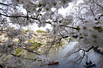 海外「美しさに息を呑む」日本の桜満開の美しさにため息すら出る海外