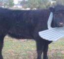 【画像】庭用の椅子に頭がはまった牛が発見される