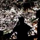 『松本城夜桜』の画像